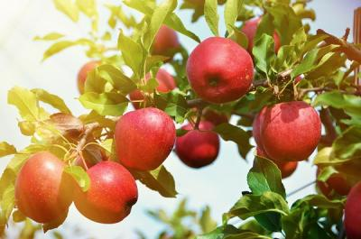 red apples on a tree, backlit by the sun