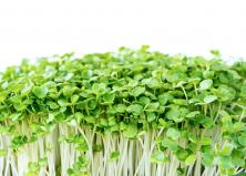 microgreens on a white background