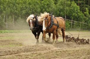 two horses pulling a plow in a field