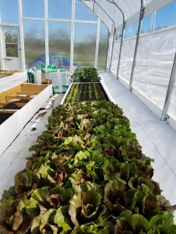 inside Shepard's greenhouse, a row of lettuce is growing