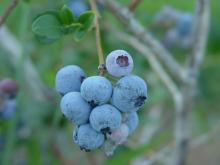 close up of a cluster of blueberries on the stem