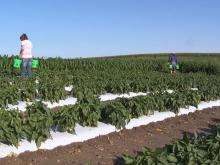 two workers harvesting peppers in a large field