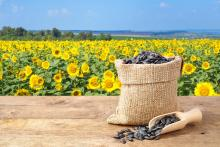 sunflower seeds in front of a field of sunflowers
