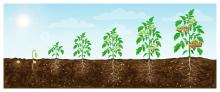 seven tomato plants in different stages of growth, from seed to producing tomatoes