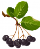 aronia berries on a stem